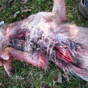 Entry And Exit Wound With Rage Broadheads