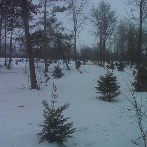 Transplanted Spruce Trees